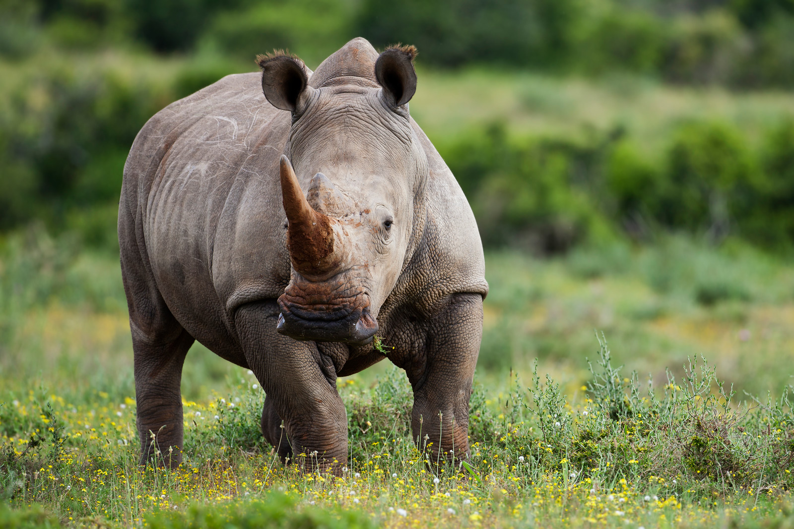 This beautiful image was taken by David Kettles in the Kariega Game reserve in 2011. Sadly this White Rhino bull is no longer with us and was killed in a poaching attack on the 2nd March 2012 for his horn.